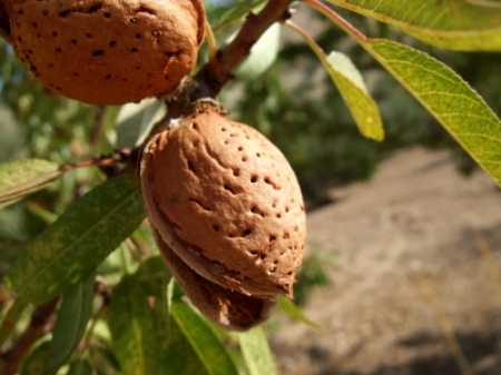 Almonds_on_Tree